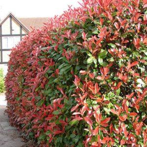 Photinia x fraseri Red Robin - Vrtnarstvo Breskvar