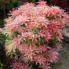 Pieris japonica 'Flaming silver' - Vrtnarstvo Breskvar