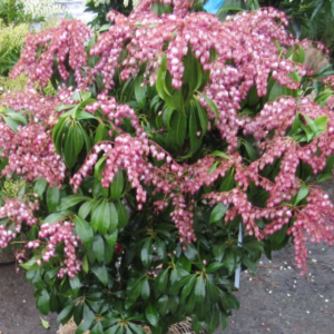 Pieris japonica Katsura - Vrtnarstvo Breskvar