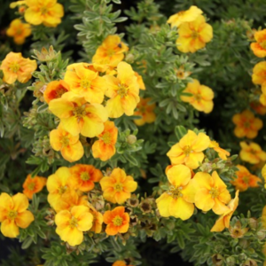 Potentilla fruticosa 'Mango Tango' - Vrtnarstvo Breskvar