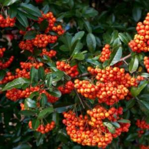 Pyracantha coccinea 'Kasan' - Vrtnarstvo Breskvar