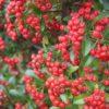 Pyracantha coccinea 'Red Cushion - Vrtnarstvo Breskvar
