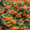 Pyracantha coccinea 'Orange Charmer' - Vrtnarstvo Breskvar