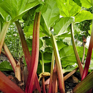 Vrtnarstvo Breskvar - Rheum Rhabarbarum Esta