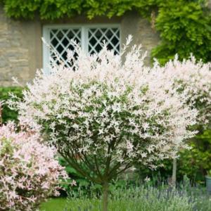 Salix integra 'Hakuro-Nishiki' (Flamingo)- Vrtnarstvo Breskvar