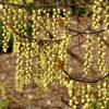 Stachyurus chinensis 'Celina' - Vrtnarstvo Breskvar