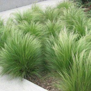 Stipa tenuissima 'Pony Tails' - Vrtnarstvo Breskvar
