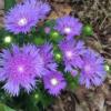 Stokesia laevis 'Mel's Blue' - Vrntarstvo Breskvar