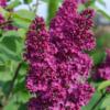 Syringa vulgaris 'Andenken an Ludwig Spath' - Vrtnarstvo Breskvar