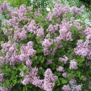 Syringa meyeri 'Palybin' - Vrtnarstvo Breskvar