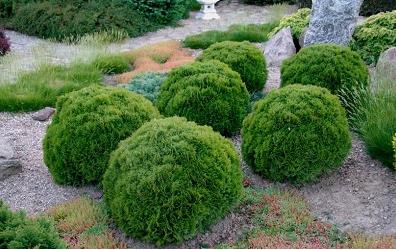 Thuja occidentalis 'Tiny Tim' - Vrtnarstvo Breskvar