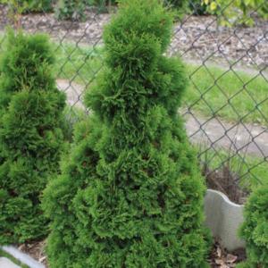 Thuja occidentalis 'Miky' - Vrtnarstvo Breskvar