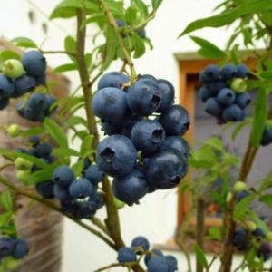Vaccinium corymbosum 'Goldtraube' - Vrtnarstvo Breskvar