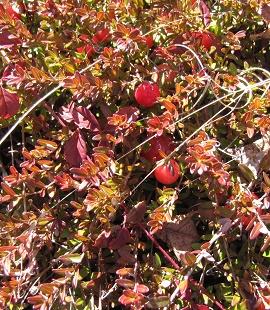Vaccinium macrocarpon zima - Vrtnarstvo Breskvar