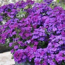 Verbena Vepita Blue Violet - Vrtnarstvo Breskvar