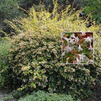 Vrtnarstvo Breskvar - Abelia grandiflora Francis Mason