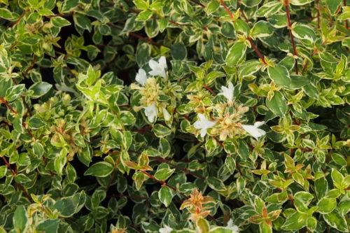 Vrtnarstvo Breskvar - Abelia grandiflora Sparkling Silver