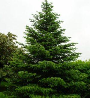 Vrtnarstvo Breskvar - Abies nordmanniana