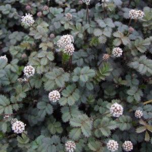 Vrtnarstvo Breskvar - Acaena buchananii