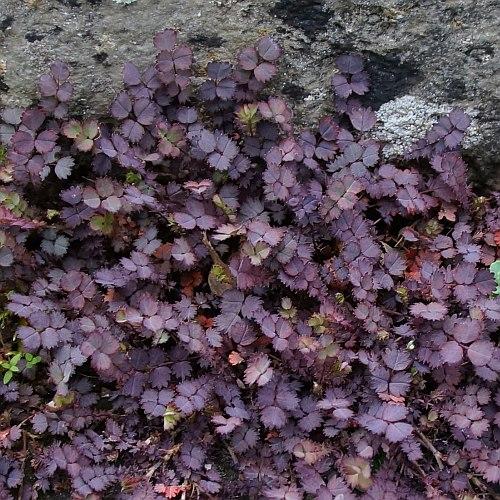 Vrtnarstvo Breskvar - Acaena inermis Purpurea