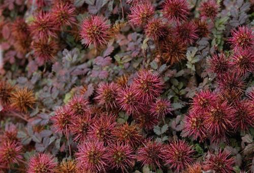 Vrtnarstvo Breskvar - Acaena microphylla Kupferteppich
