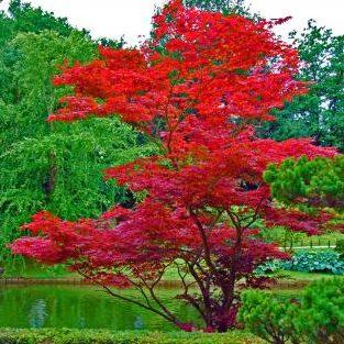 Vrtnarstvo Breskvar - Acer palmatum Red Flash
