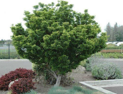 Vrtnarstvo Breskvar - Acer palmatum Shishigashira