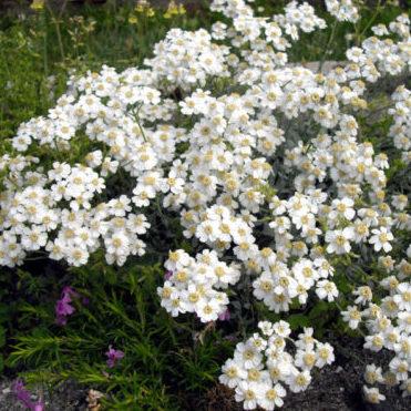 Vrtnarstvo Breskvar - Achillea ageratifolia