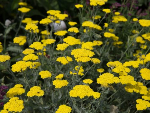 Vrtnarstvo Breskvar - Achillea clypeolata Moonshine