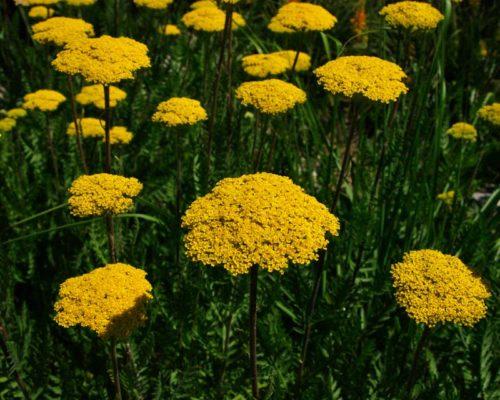 Vrtnarstvo Breskvar - Achillea filipendulina Parker