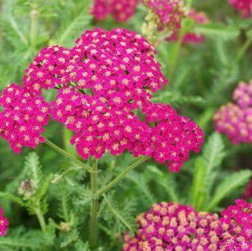 Vrtnarstvo Breskvar - Achillea millefolium Kirschkonigin