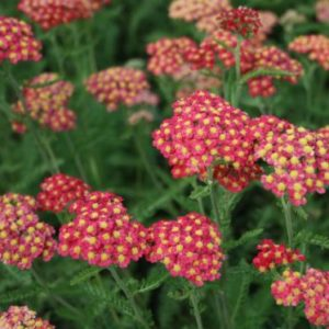 Vrtnarstvo Breskvar - Achillea millefolium Paprika