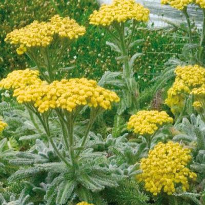 Vrtnarstvo Breskvar - Achillea tomentosa Goldie