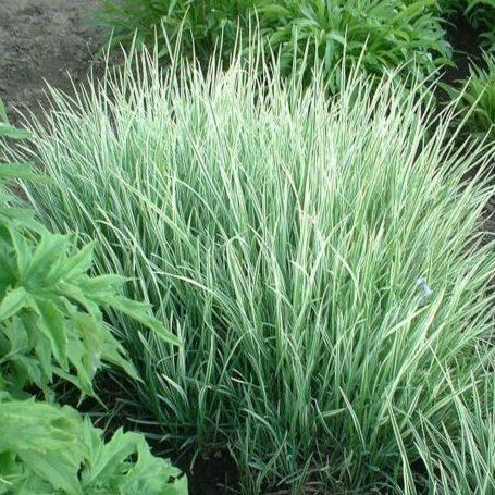 Vrtnarstvo Breskvar - Acorus gramineus Argenteostriatus