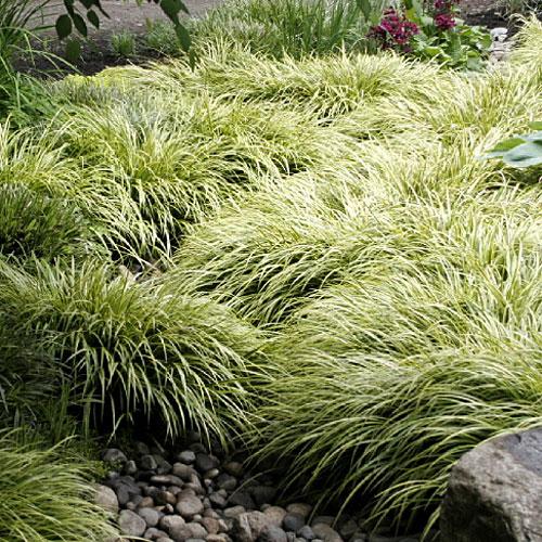 Vrtnarstvo Breskvar - Acorus gramineus Ogon