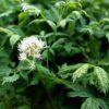 Vrtnarstvo Breskvar - Actaea erythrocarpa