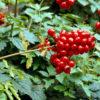 Vrtnarstvo Breskvar - Actaea rubra