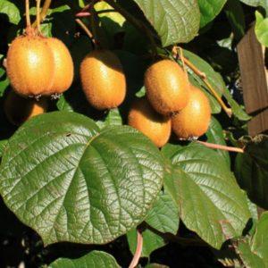 Vrtnarstvo Breskvar - Actinidia deliciosa Boskoop
