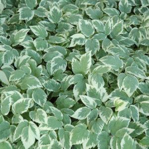 Vrtnarstvo Breskvar - Aegopodium podagraria Variegata