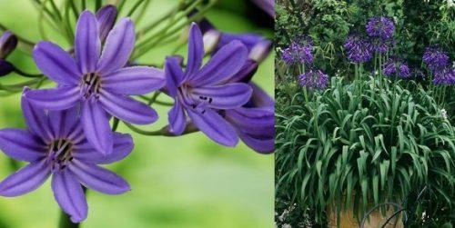 Vrtnarstvo Breskvar - Agapanthus Africanus Blue Panache