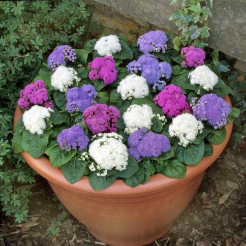 Vrtnarstvo Breskvar - Ageratum Houstonianum Blue Mink