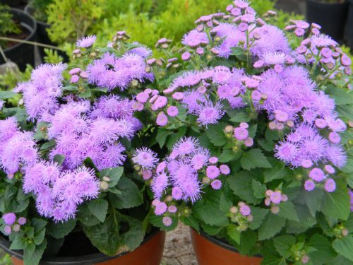 Vrtnarstvo Breskvar - Ageratum houstonianum