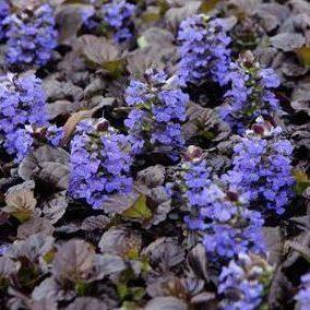 Vrtnarstvo Breskvar - Ajuga reptans Black Scallop