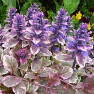 Vrtnarstvo Breskvar - Ajuga reptans Burgundy Glow