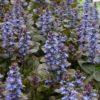 Vrtnarstvo Breskvar - Ajuga reptans Mini Mahogany