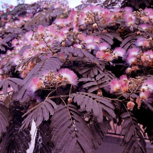 Vrtnarstvo Breskvar - Albizia Summer Chocolate