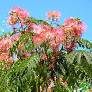 Vrtnarstvo Breskvar - Albizia Julibrissin