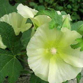 Vrtnarstvo Breskvar - Alcea ficifolia