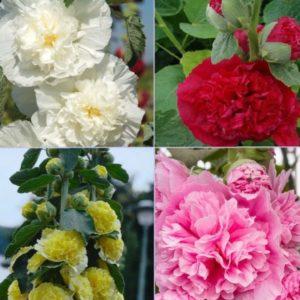 Vrtnarstvo Breskvar - Alcea rosea Pleniflora