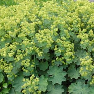 Vrtnarstvo Breskvar - Alchemilla mollis Thriller